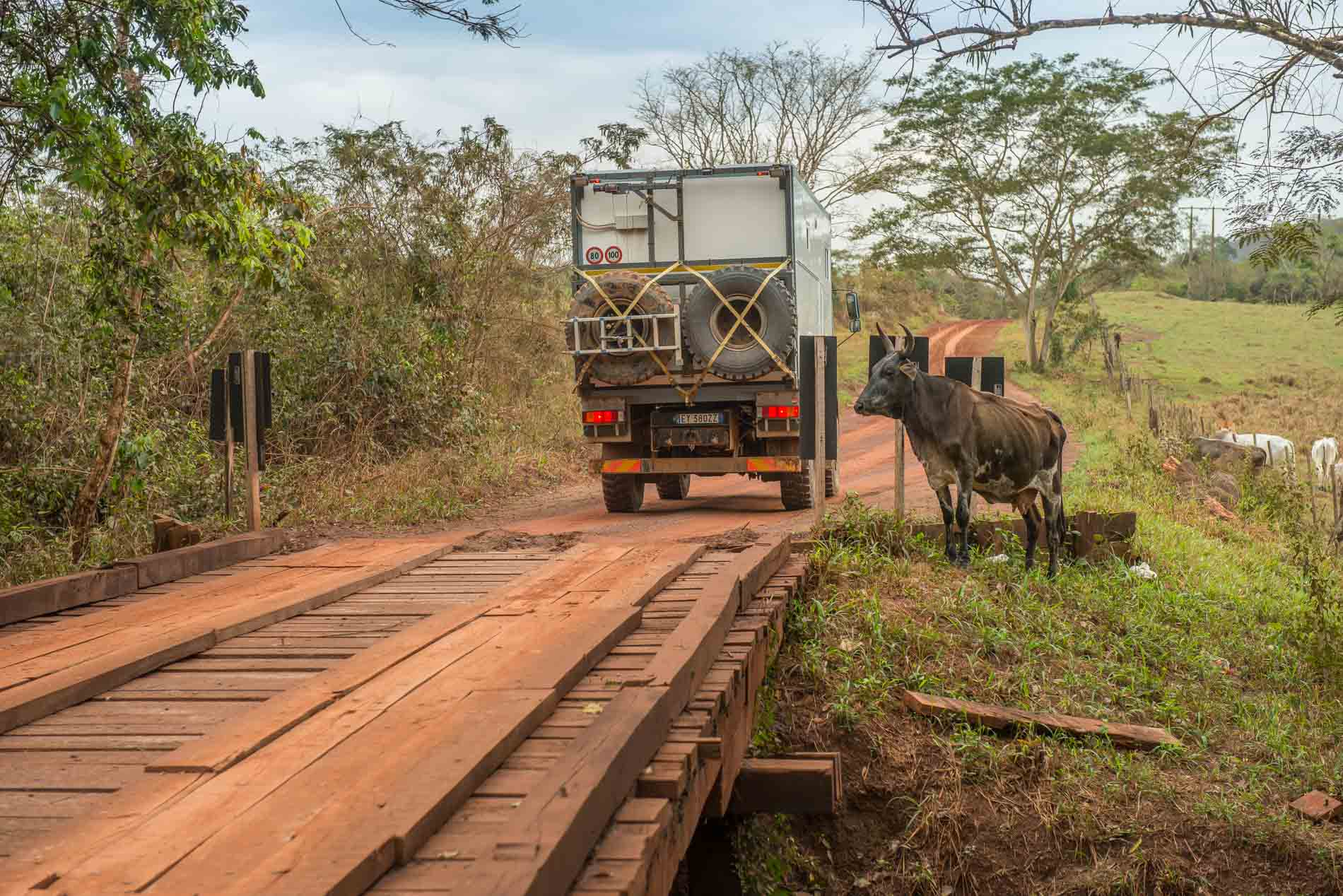 bridge-cows-pantanal