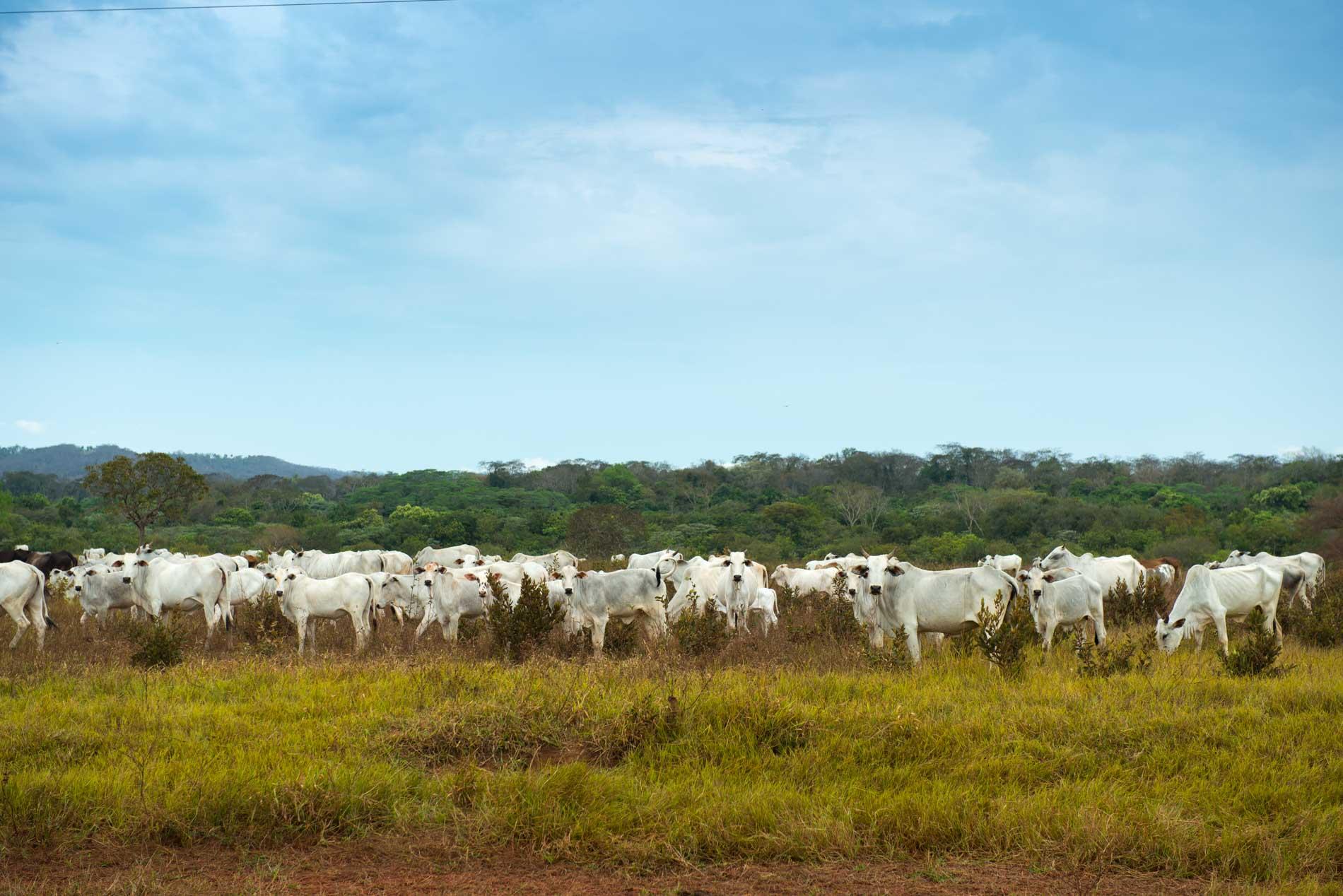 mucche-brasile-pantanal
