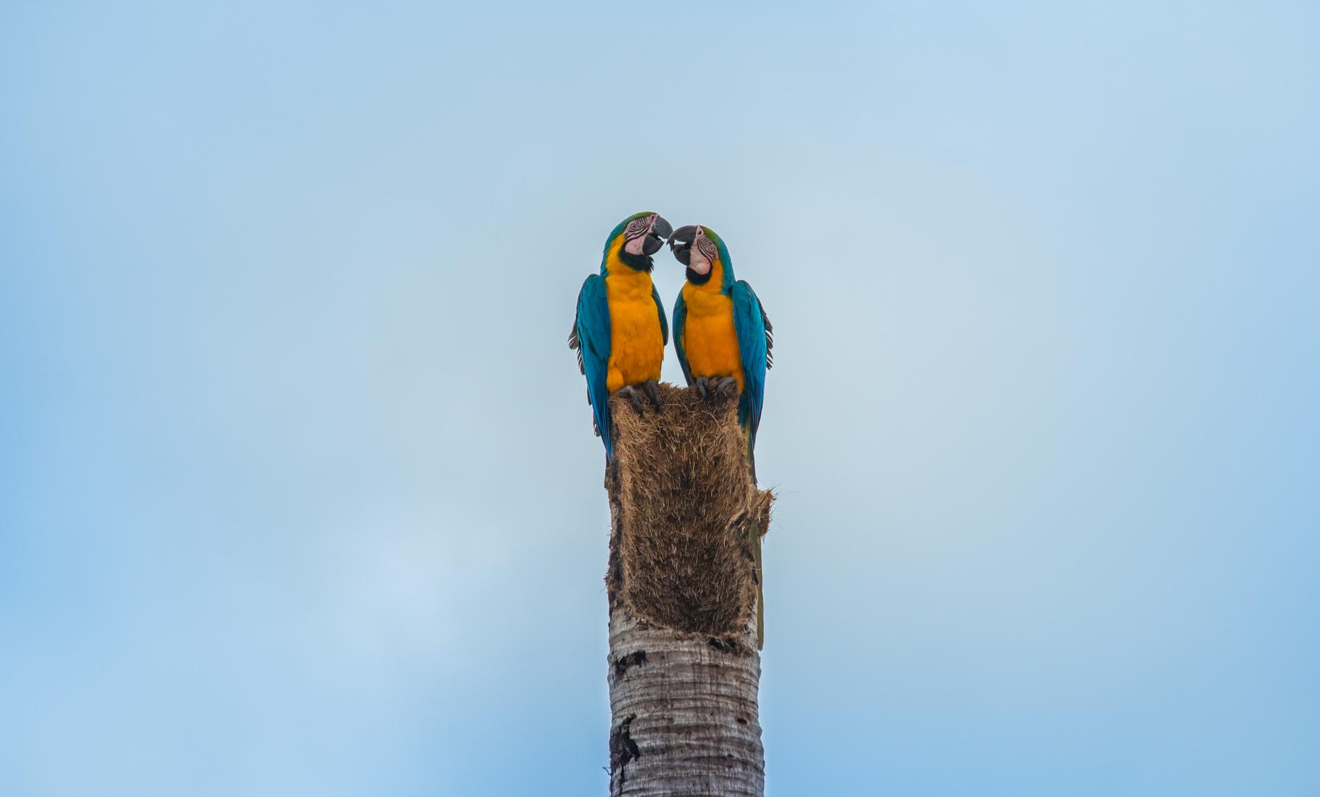 pappagalli-pantanal-safari